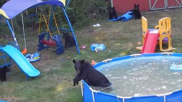 Bears run wild in backyard swimming pool for Bears in swimming pool new jersey
